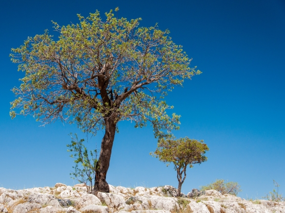 Mycenae - olive tree