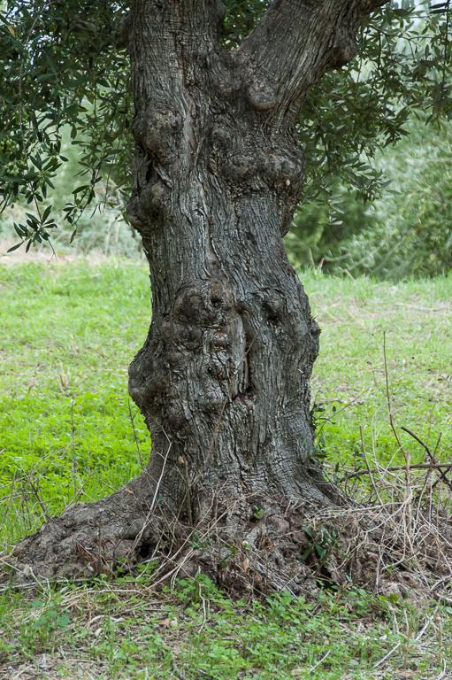 Olive tree 3