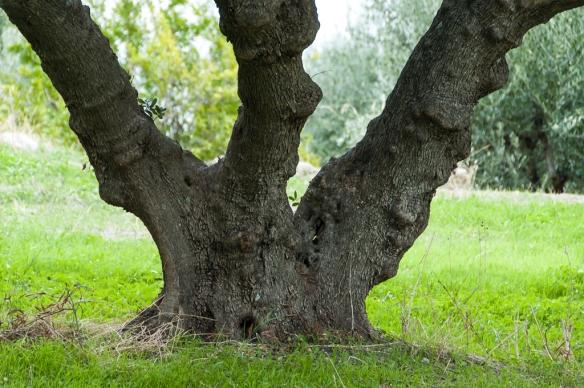 Olive tree 5