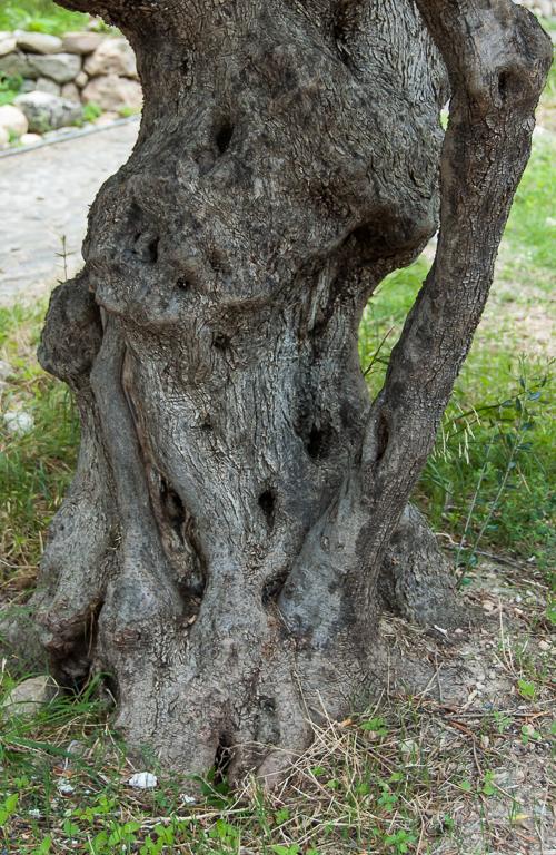Olive tree 7