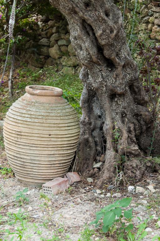 Olive tree 8