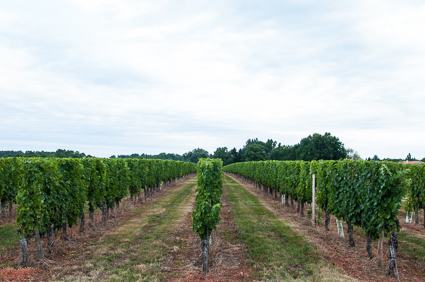 M Ley's vineyard
