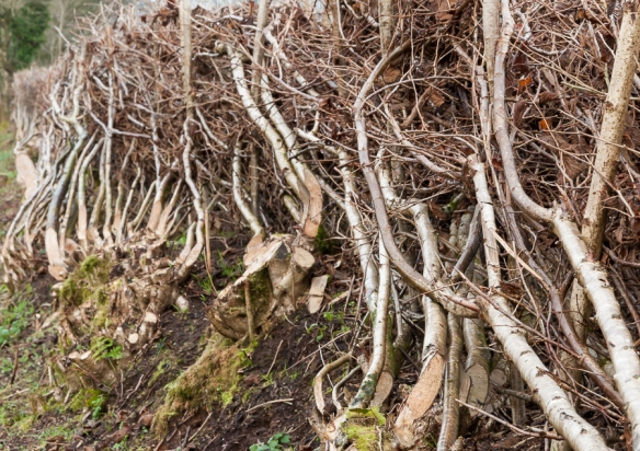 Hedge laying-2