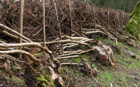 Hedge laying-4