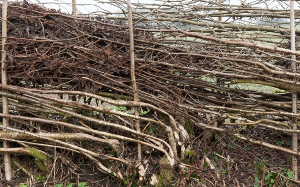 Hedge laying-6