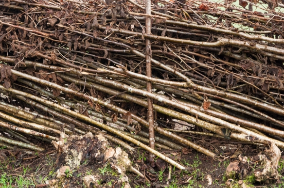 Hedge laying-7