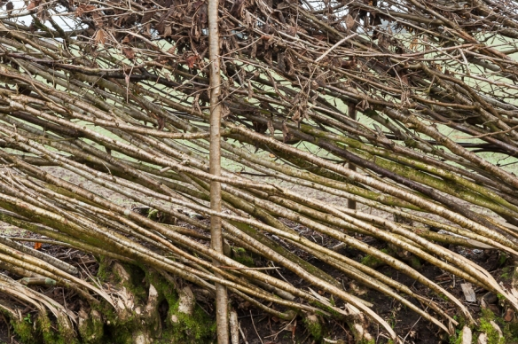 Hedge laying-8