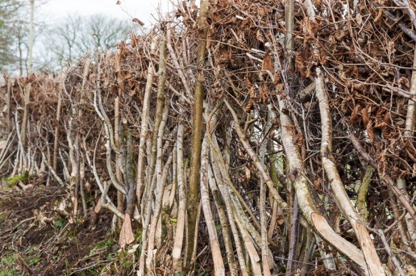 Hedge laying-9